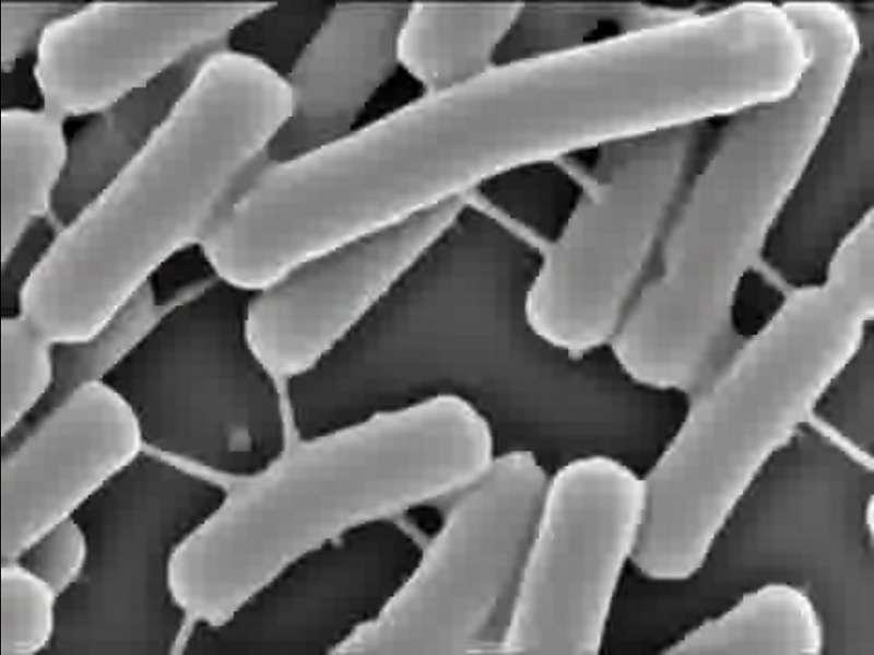 Comme le montre cette image en microscopie électronique, c'est en fait tout un réseau qui se développe dans la colonie bactérienne. © Sigal Ben-Yehuda/Cell