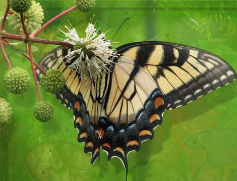 Un Machaon. © Wikipédia