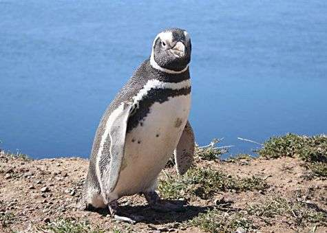 Manchot de Magellan photographié en Argentine. Crédit Commons.