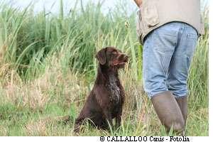 Les chiens de chasse pataugeant dans des terrains très humides sont particulièrement exposés à la leptospirose. Les égoutiers et les éboueurs le sont aussi. © Callalloo/Fotolia