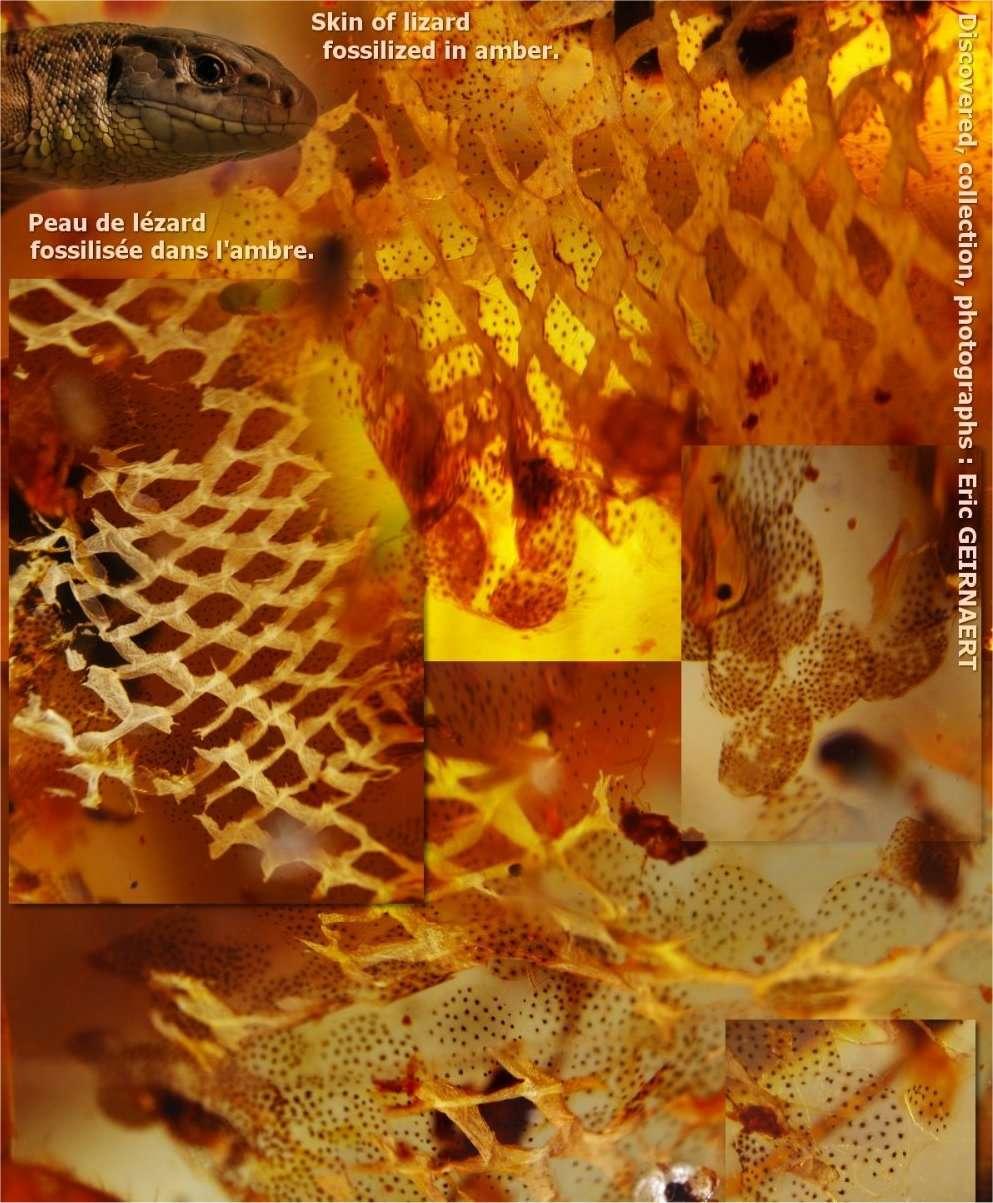 L'ambre emprisonne et protège des fossiles très anciens. Une bonne technique d'observation permet d'étonnantes observations. Découvrez d'autres images sur le site de Éric Geirnaert. © Éric Geirnaert