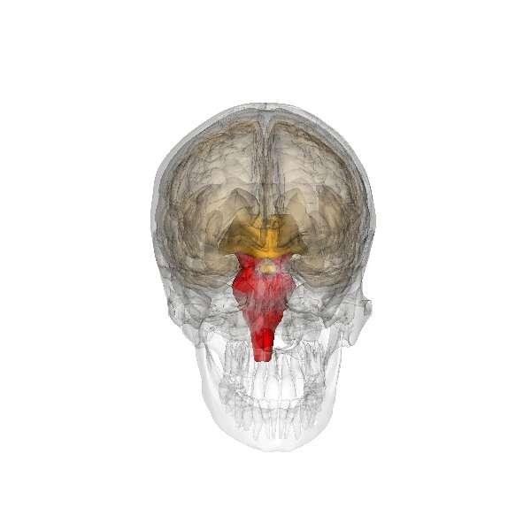 Vue tridimensionnelle (en rouge) du tronc cérébral (cliquer pour démarrer l'animation). © Life Science Databases, Wikimedia Commons, cc by sa 2.1