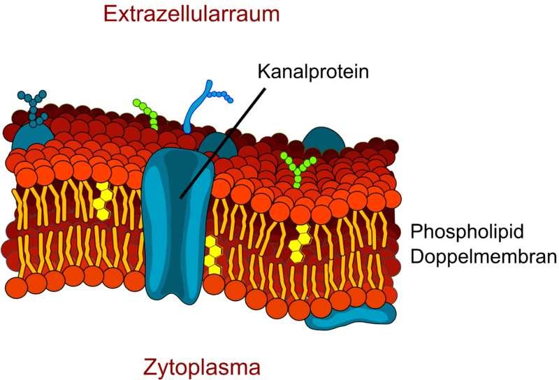 Un exemple de protéine transporteuse : la protéine-canal. © LadyofHats, modifié par Armin Kübelbeck, Wikimedia CC by 3.0