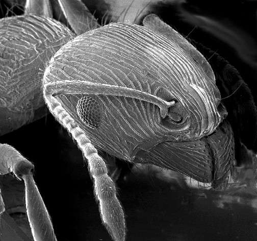 Le microscope électronique à balayage fournit des images en relief des objets observés (ici, une tête de fourmi). © DR