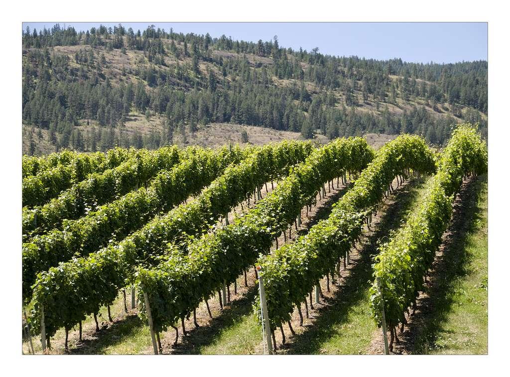 En 2006, 2,1 % des zones cultivées françaises étaient consacrées à la culture de la vigne. La France est le premier producteur mondial de vin devant l'Italie et l'Espagne. © Claude Robillard, Flickr, cc by 2.0