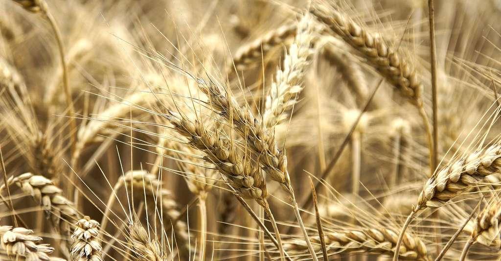 Champs de blé juste avant la moisson. © Thomas Loire, CC BY-NC 2.0