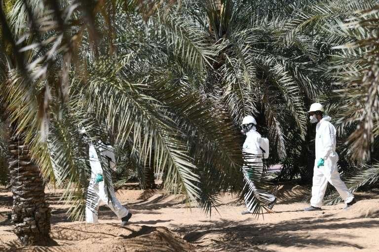 Une équipe technique de l'Autorité d'agriculture et de sécurité alimentaire d'Abou Dhabi, au milieu des palmiers dans un champ de l'oasis désertique d'Al-Aïn, aux Émirats arabes unis, le 13 février 2020. © Karim Sahib, AFP