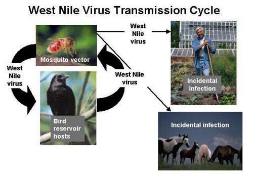 Schéma de la transmission du virus responsable de la fièvre occidentale du Nil. © Centers for Disease Control and Prevention, Wikimedia commons DP
