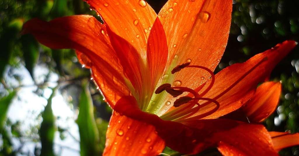 Comment l'hydrochorie, la pollinisation par l'eau, fonctionne-t-elle ? Ici, un lis orangé. © Jenniejune133, Shutterstock