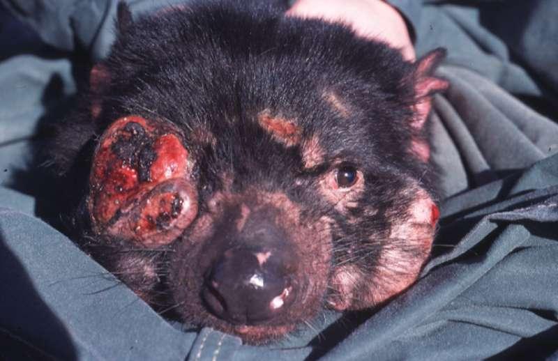 Diable de Tasmanie atteint d'une tumeur cancéreuse. © Menna Jones, Wikipédia, cc by 2.5