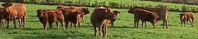 La vache limousine et l'export bovin. © Millevaches, CC by-nc 2.0