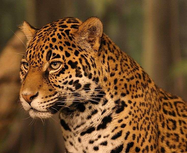 Le jaguar. © Cburnett, GNU Free Documentation License, Version1.2