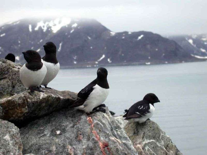 Mergules nains en zone arctique. © Alastair rae, CC by-SA 2.0