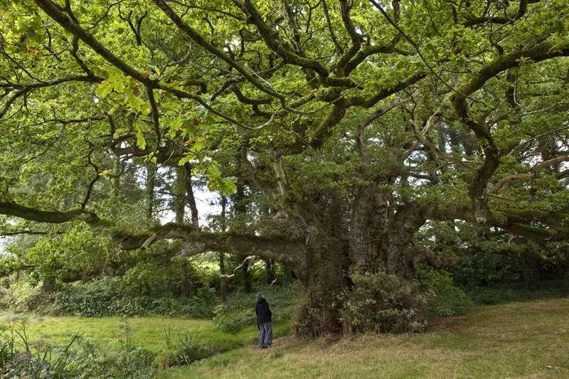 Le chêne de Tronjoly, à Bulat-Pestivien en France, est âgé d'environ 1.700 ans. Il semble qu'en émettant une molécule appelé alpha-pinène, largement répandue parmi les végétaux terrestres, les arbres des forêts influent sur la formation des nuages. © Michel Lefranq, Wikipédia, cc by-sa-3.0