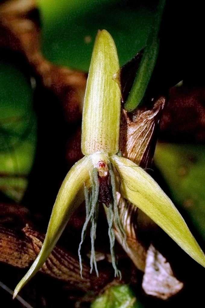 Les fleurs de Bulbophyllum nocturnum sont relativement petites et vivent peu longtemps. Elles s'ouvrent vers 22 h 00 et se ferment le matin suivant. © Jaap Vermeulen