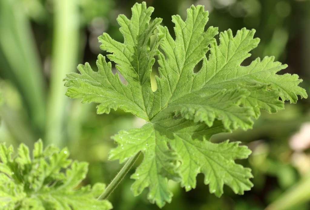 Le géranium possède des nombreuses vertus pour la santé. © Unclesam, Fotolia