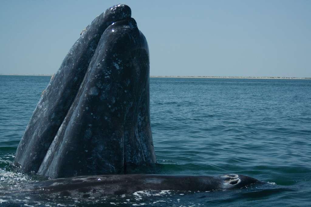 Baleine grise et son petit. © José Eugenio Gomez Rodriguez, GNU FDL Version 1.2