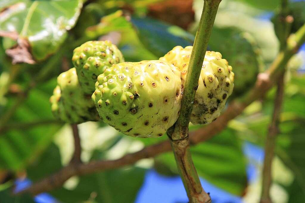 Les nonis, des fruits utilisés en médecine