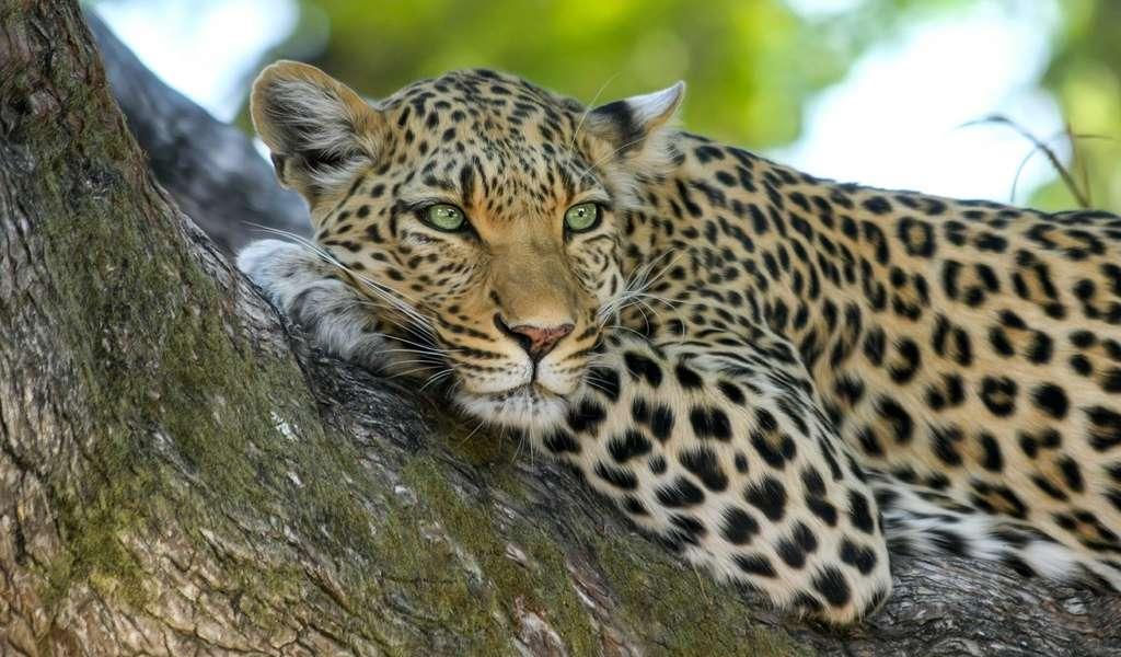 Sur ce léopard perché dans son arbre, on distingue clairement les rosettes. © designerpoint, Pixabay, DP
