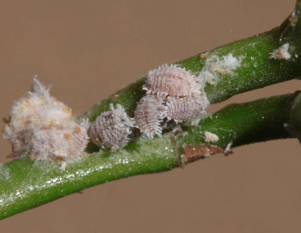 La cochenille farineuse de l'oranger (Planococcus citri) s'attaque à plus de 80 types de plantes en vergers et cultures ornementales (ficus, palmier, rosier, gerbera…). © silversea_starsong, iNaturalist