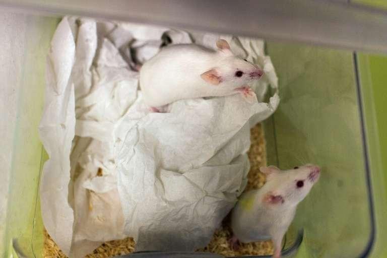 Un séjour prolongé dans l'espace n'a pas affecté les fonctions reproductrices de souris mâles. © Philippe Merle, AFP, Archives