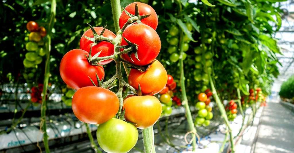 Culture de la tomate hors sol. © Davehan2016, CCO