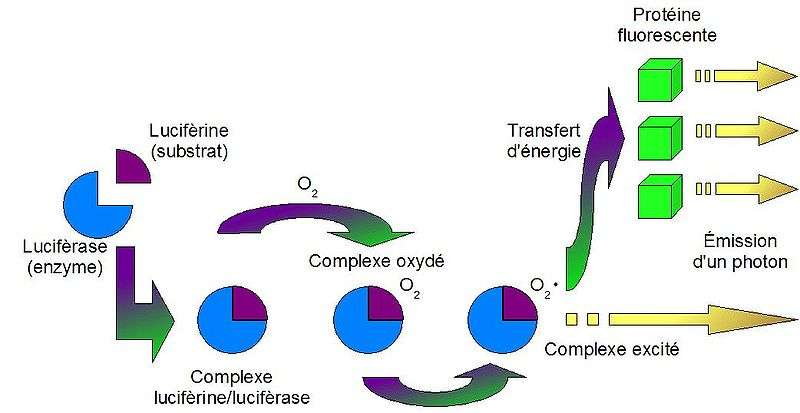 Schéma du mécanisme biochimique de la bioluminescence. © ElfeJediBiochimiste, Wikimedia CC by-sa 3.0