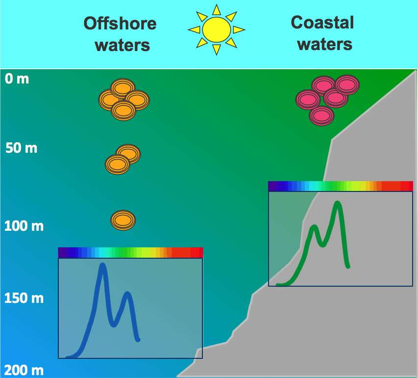 Les cyanobactéries Synechococcus sont de vrais caméléons. Au large, en pleine mer (Offshore waters), l'eau est bleue et leurs pigments absorbent majoritairement dans le bleu. En mer côtière (Coastal waters), les pigments optimisent l'absorption dans le vert. © University Indiana