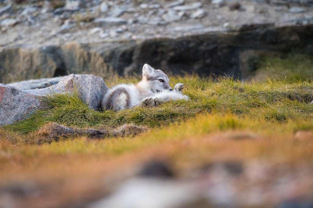 Bébé renard bleu dans sa fourrure d'été