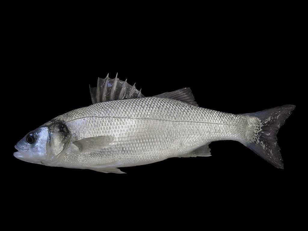 Les bars (Dicentrarchus labrax) vivent en banc, et atteignent habituellement 40 à 70 cm de long à l'âge adulte. Cette espèce est élevée en aquaculture. © bathyporeia, Flickr, cc by nc sa 2.0
