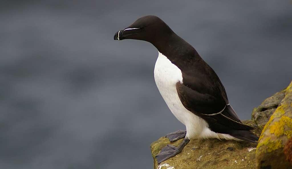 Les pingouins sont des oiseaux capables de voler. © jack_spellingbacon, Wikipédia, CC by 2.0