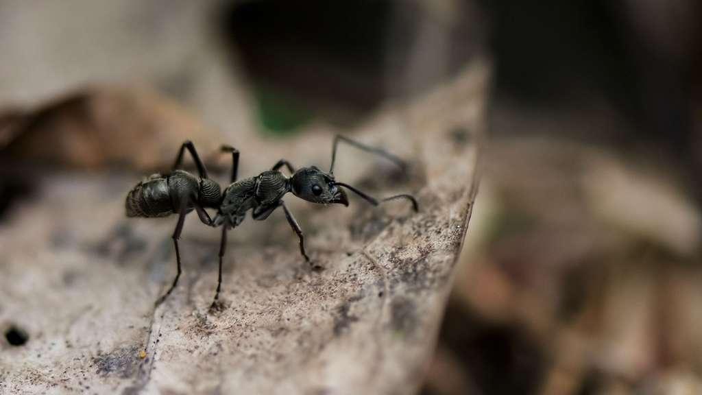 La myrmécologie, la science des fourmis