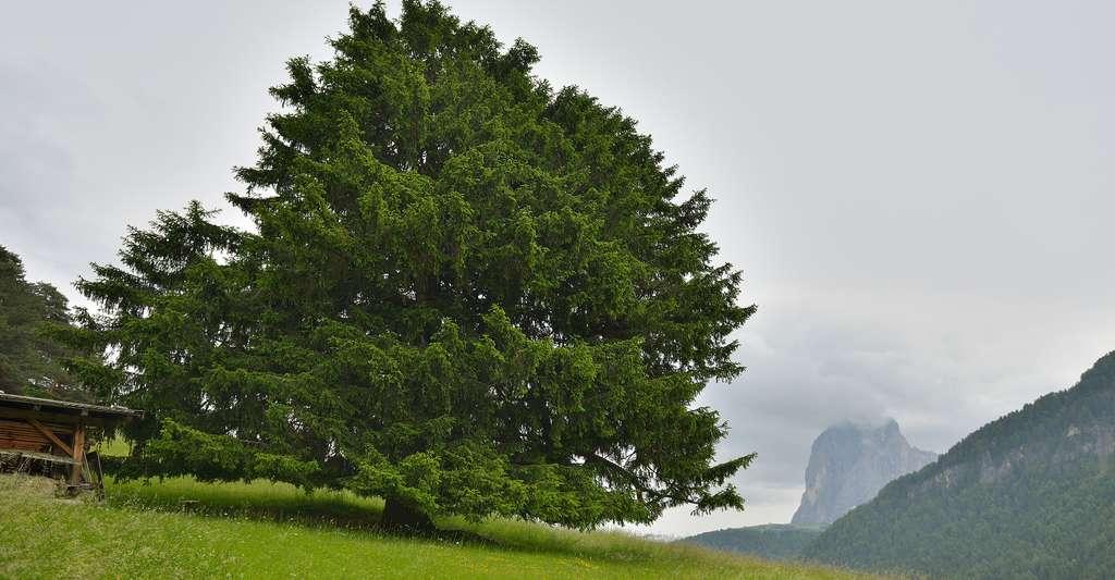 Picea abies dans le Jura. © Wolfgang Moroder CC BY-SA 3.0