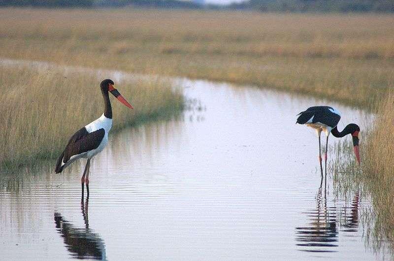 Jabirus d'Afrique dans le delta de l'Okavango. © PanBK, GNU FDL Version 1.2