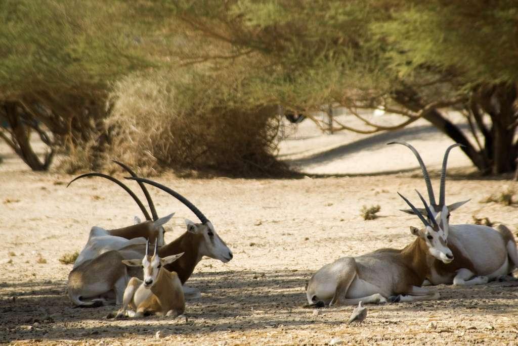 L'oryx algazelle (Oryx dammah) est inscrit sur la liste rouge de l'UICN, dans la catégorie « éteint à l'état sauvage ». En effet, des individus subsistent dans différents zoos où ils sont reproduits en vue d'éventuelles réintroductions.