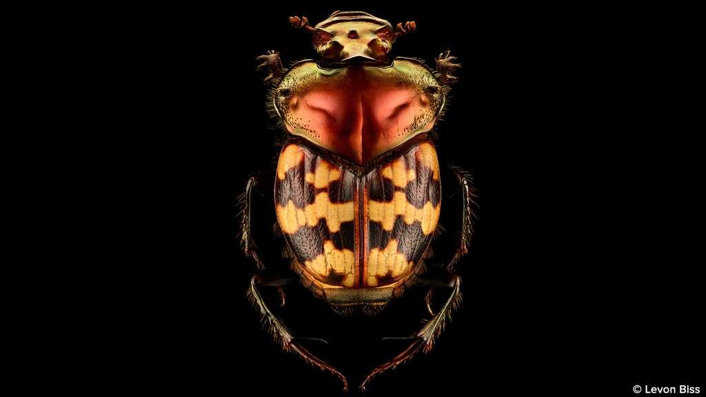 Helictopleurus splendidicollis, sans doute le plus beau bousier du monde