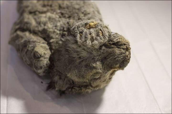 Le lionceau avait sa tête posée sur sa patte avant droite quand il est mort. Il a passé entre 20.000 et 50.000 ans enseveli dans le permafrost en Yakouthie jusqu'à ce que la crue d'une rivière le mette au jour. © The Siberian Times