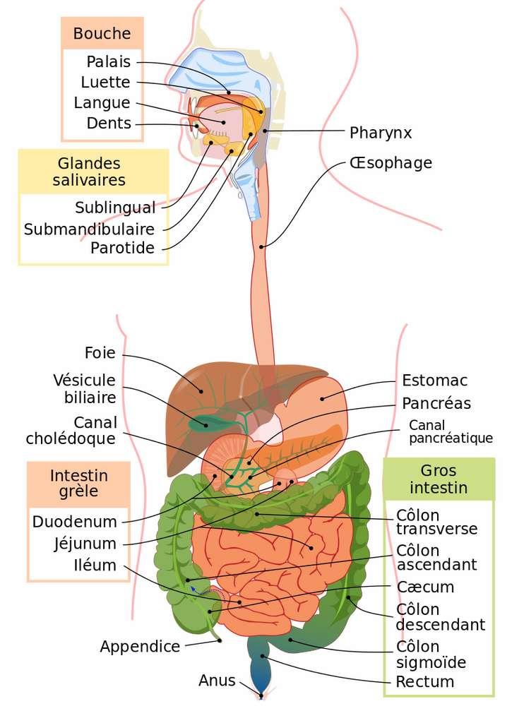 Schéma de l'appareil digestif humain. La partie haute du tube digestif se trouve entre l'œsophage et le duodénum. Tandis que la partie basse se situe entre le jéjunum et l'anus. © LadyofHats, Wikimedia commons, CC 4.0
