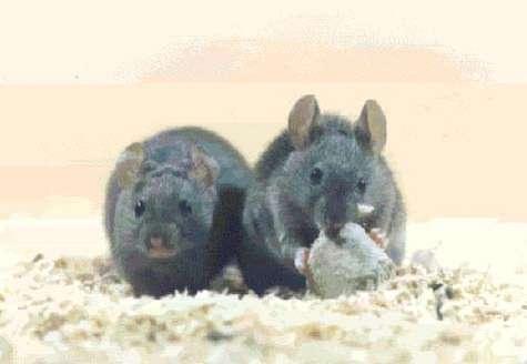 Des souris. Crédits : LEEC-CNRS U2413