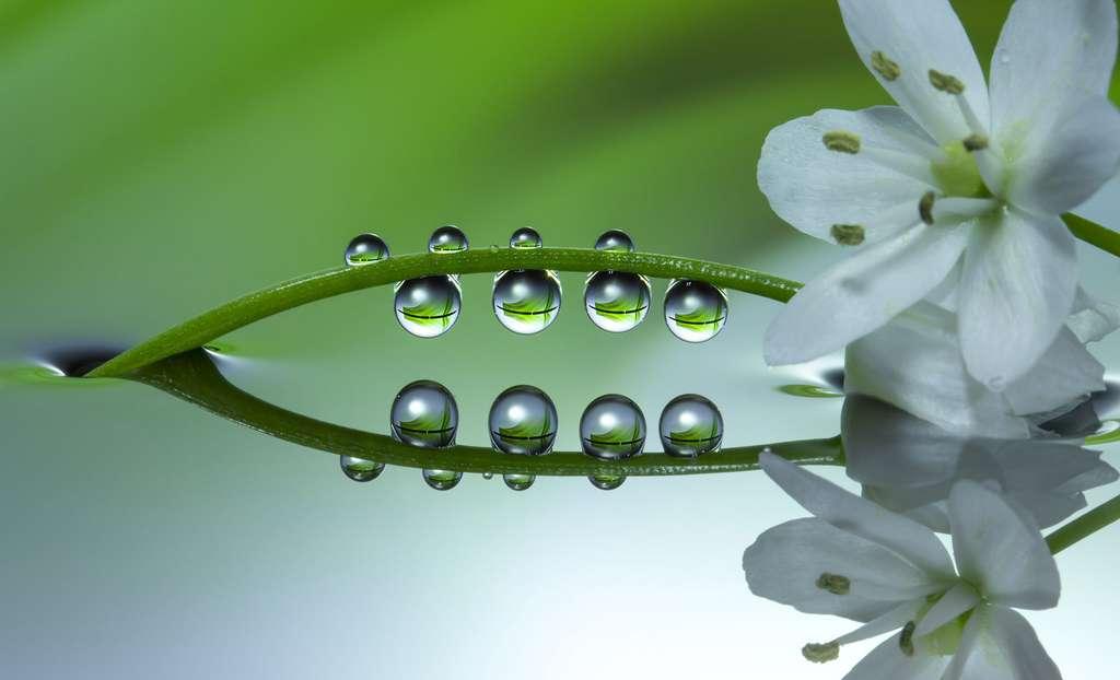 La fleur d'ail blanc, toute en élégance