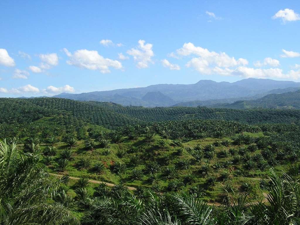 Outre d'entraîner la déforestation dans plusieurs régions tropicales au profit de la culture intensive du palmier, l'huile qui en est extraite à plusieurs effets négatifs sur la santé. Elle causerait des maladies cardio-vasculaires et aurait un impact sur le cerveau, en influençant le circuit de la récompense. Une nouvelle étude montre en effet « que les rats qui avaient eu le régime à base d'huile de palme avaient une fonction de la dopamine émoussée ». © Achmad Rabin Taim, Wikipedia Commons CC by 2.0