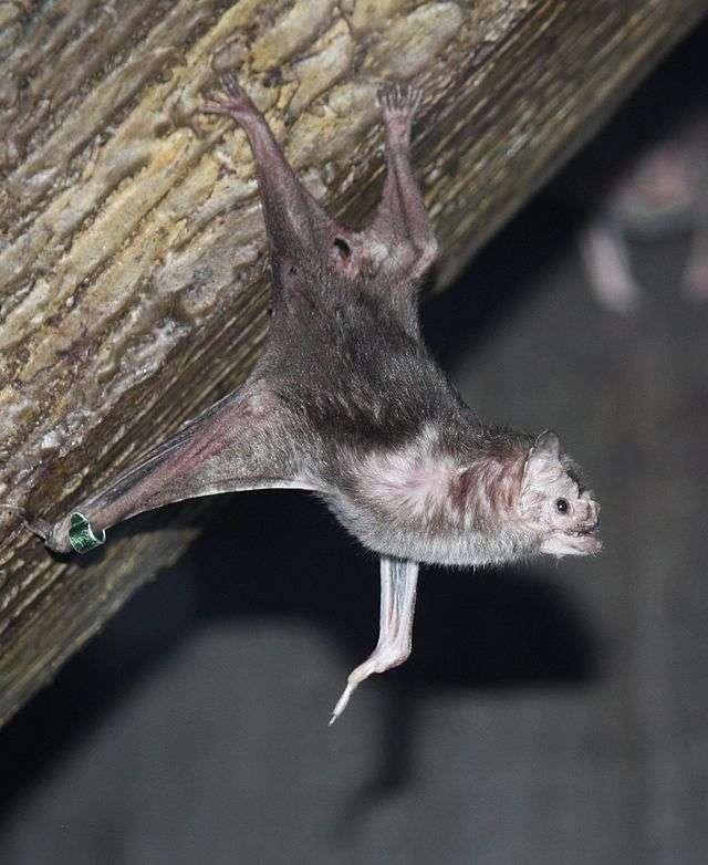 Pour se nourrir, cette chauve-souris Desmodus rotundus recourt à l'écholocation afin de détecter des proies. Ensuite, le chiroptère les mord et lape leur sang qui reste fluide grâce à un anticoagulant contenu dans sa salive. © Ltshears, Wikimedia Commons, cc by sa 3.0