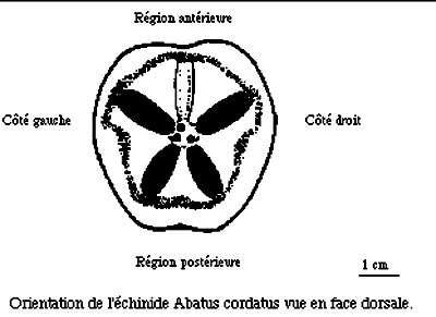 Orientation de l'échinide Abatus cordatus vue en face dorsale. © Dessin Philippe Mespoulhé