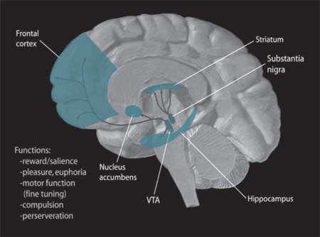 La dopamine est libérée dans plusieurs régions du cerveau (en bleu) comme le striatum. © NIH, Wikimedia Commons, DP