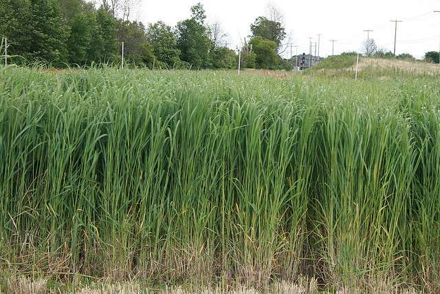 Si l'industrie des agrocarburants utilise des déchets végétaux, on peut parler de carburant vert. Pour l'instant, les essais ont porté sur une plante entière, le panic érigé. © eXtension Ag Energy, Flickr, cc by sa 2.0