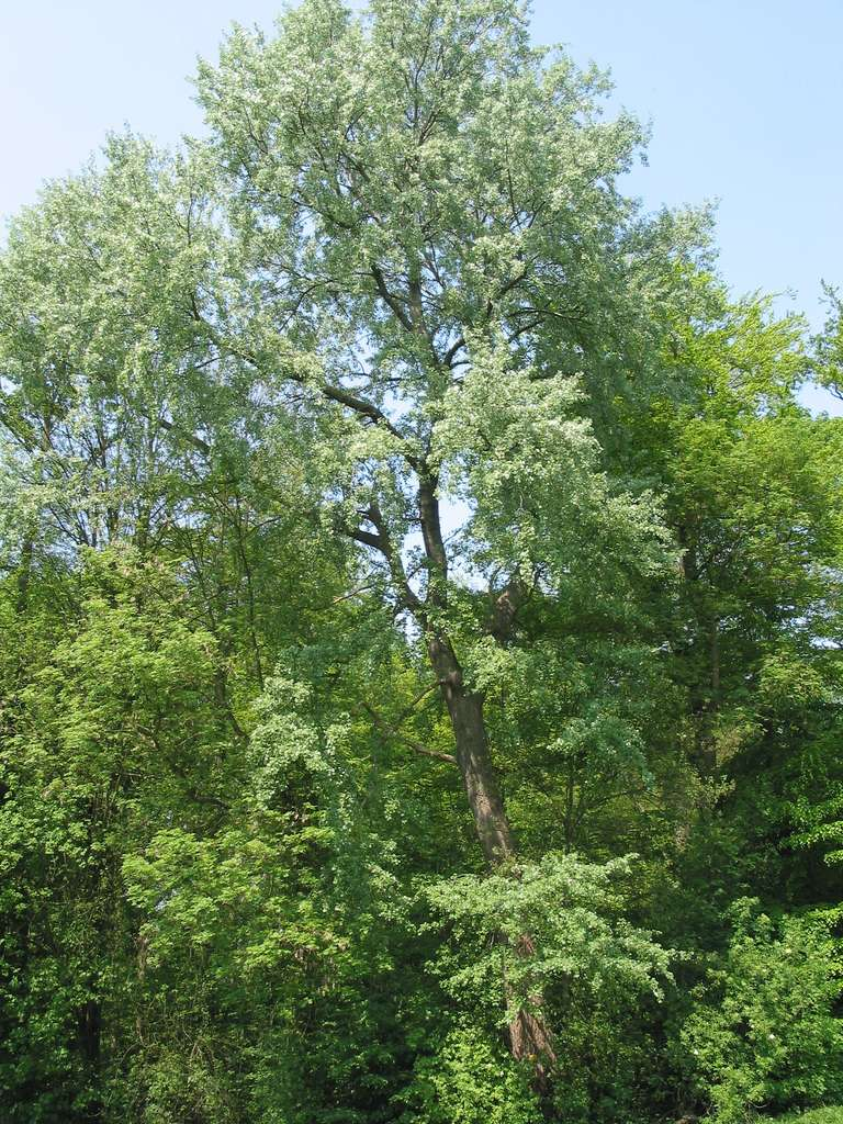 Le peuplier grisard, de la famille des salicacées. © Jean-Pol Grandmont, Wikipédia Commons 3.0 unported