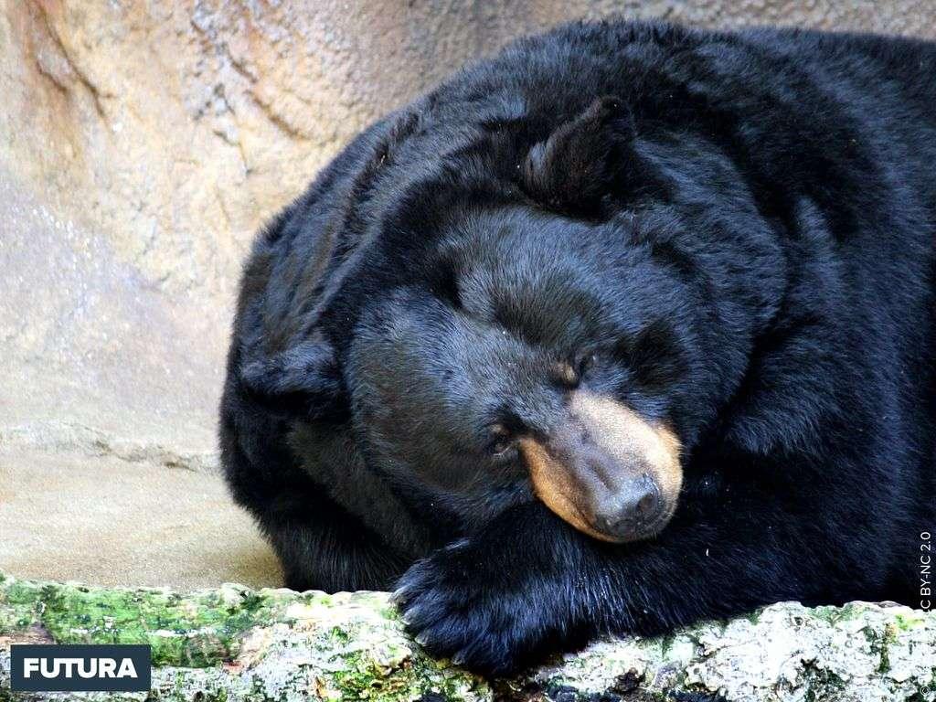 Ours noir Ursus americanus très commun au Canada