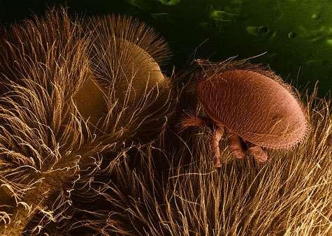 Varroa sur le corps d'une abeille. Cet acarien pompe l'hémolymphe de l'abeille et lui transmet de multiples virus et bactéries. © Domaine Public, wikipedia Agricultural Research Service
