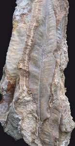 Empreinte de feuille de fougère (Phyllitis scolopendrium). © Pierre Antoine / CNRS
