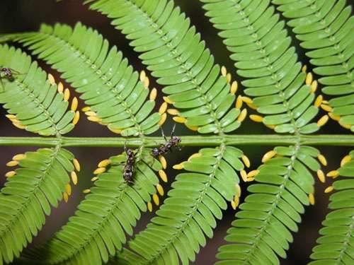 Association fourmis – arbre à fourmis. Cet acacia produit des corps nourriciers jaunes pour nourrir ses fourmis associées. © A. Wild